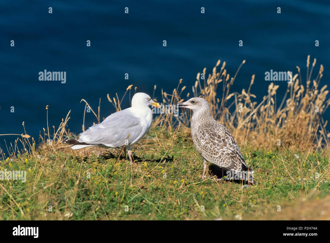 Herring Gull with young, Larus argentatus, North Sea, Germany - Stock Image