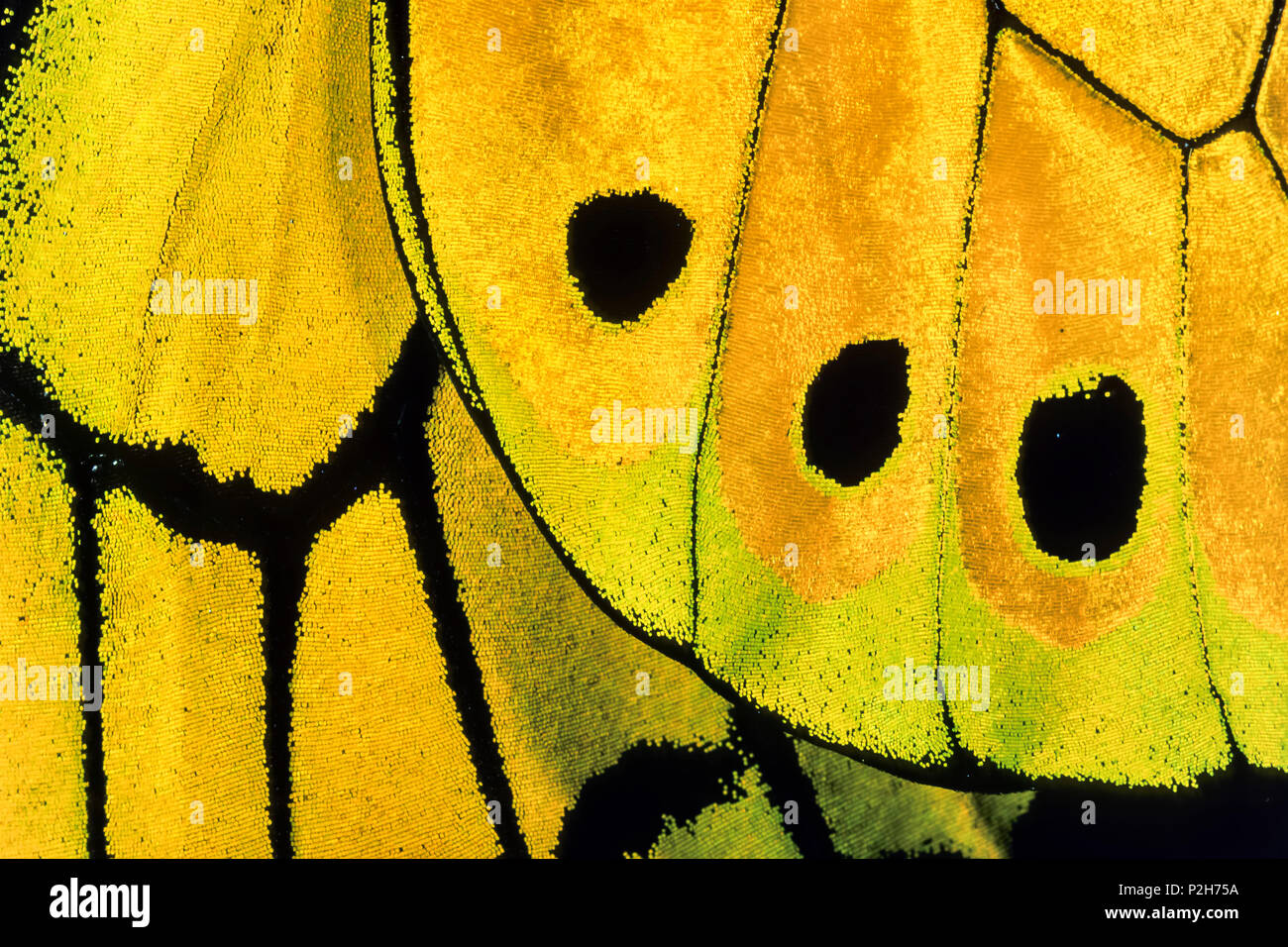 Wing detail of a male Goliath Birdwing Butterfly, Ornithoptera goliath samson, West Papua, Neuguinea, Indonesia, Asia - Stock Image