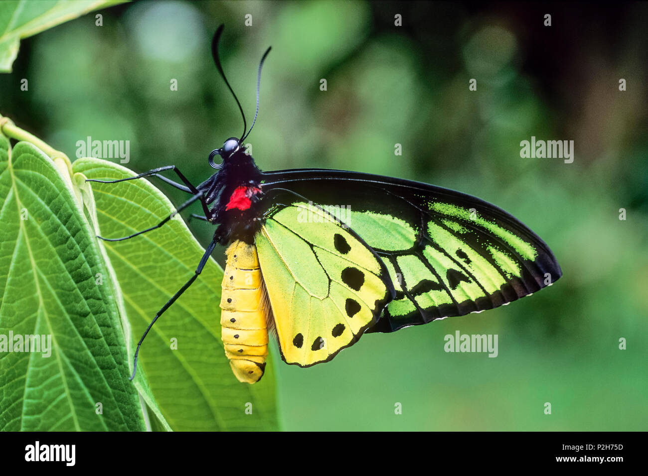 male Goliath Birdwing Butterfly, Ornithoptera goliath samson, West Papua, Neuguinea, Indonesia, Asia - Stock Image