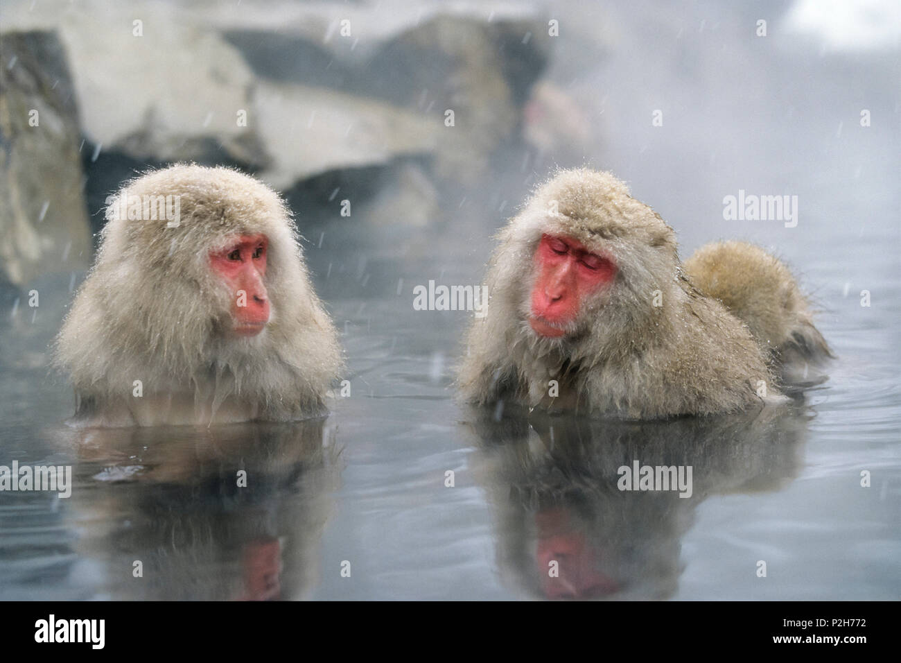 Snowmonkeys, Japanese Macaques in hot spring, Macaca fuscata, Japanese Alps, Japan - Stock Image
