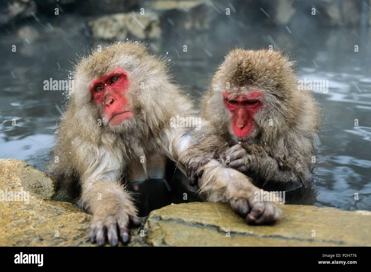 Snowmonkeys, Japanese Macaques in hot spring grooming, Macaca fuscata, Japanese Alps, Japan - Stock Image