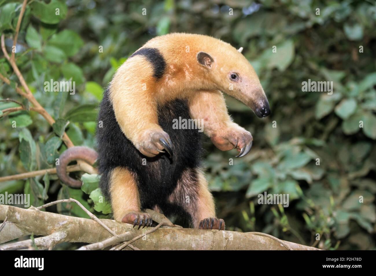 Tamandua, Tamandua tridactyla, Pantanal, Brasil, South America - Stock Image