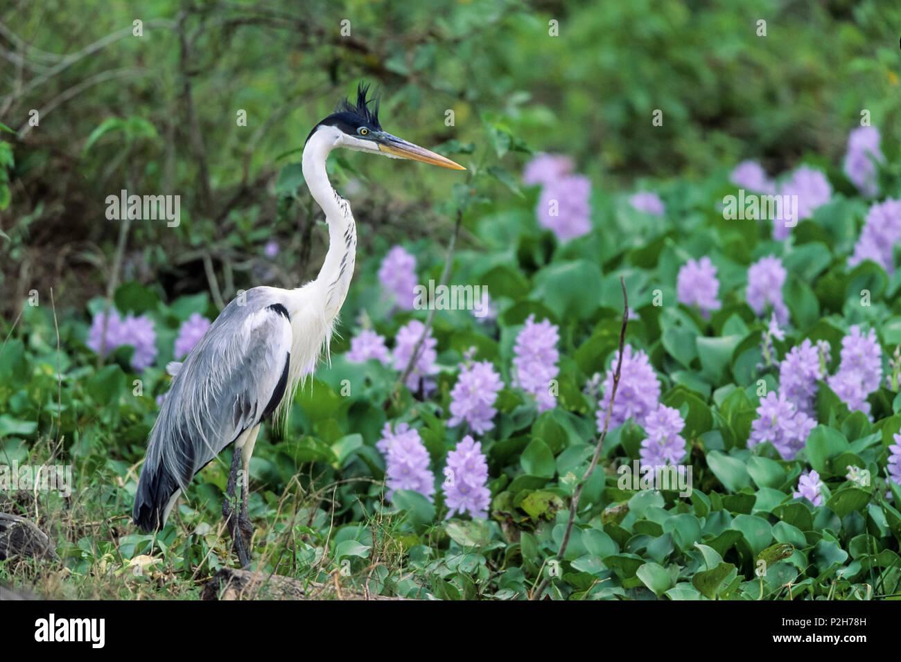 White-necked Heron, Ardea cocoi, Pantanal, Brasil, South America - Stock Image