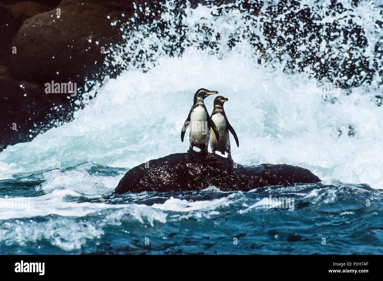 Galapagos Penguins in the surf, Spheniscus mendiculus, Galapagos Islands, Ecuador - Stock Image
