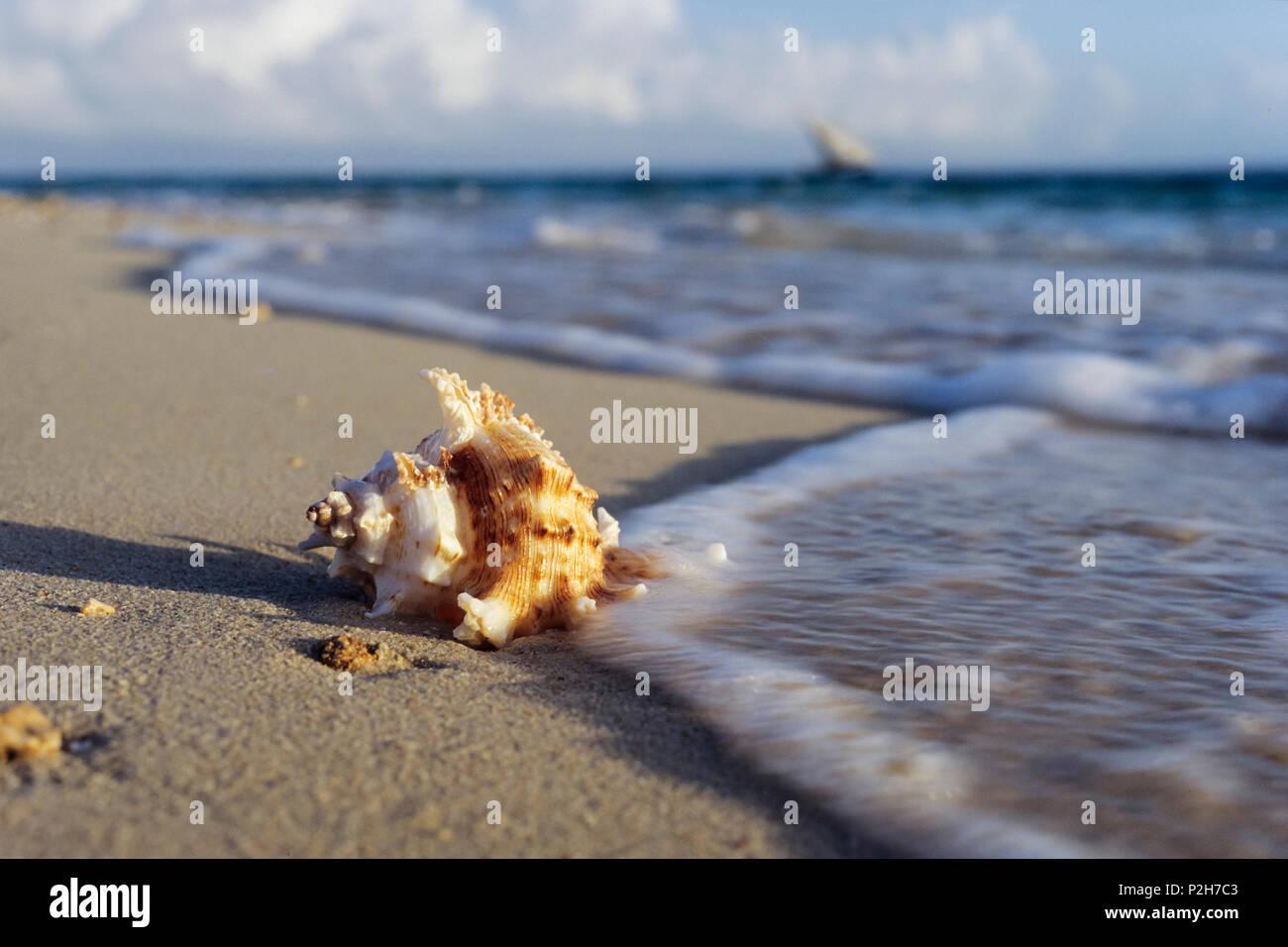 Snail shell on the beach, Zanzibar, Tanzania, East-Africa - Stock Image
