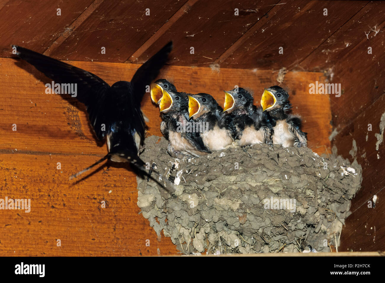Swallow at nest, Hirundo rustica, Greece, Europe - Stock Image