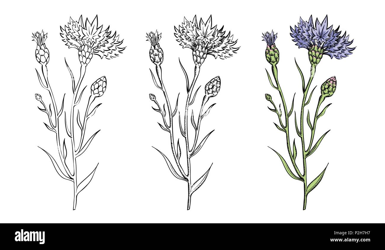 Vector illustration of cornflower twigs set in three styles - sketch