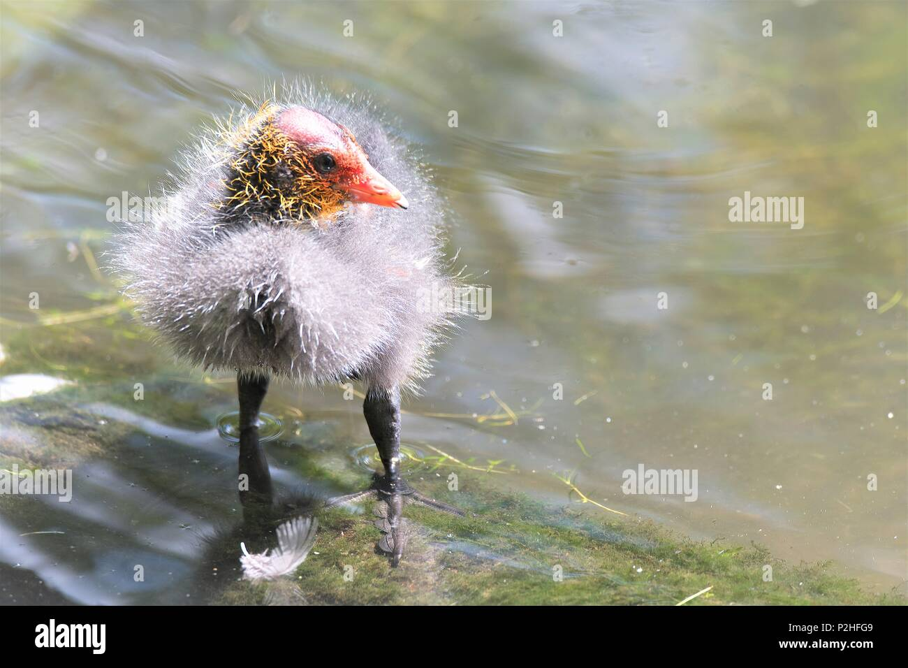 Taken to capture the lovely cute white feather downing of this very young Coot chick. - Stock Image