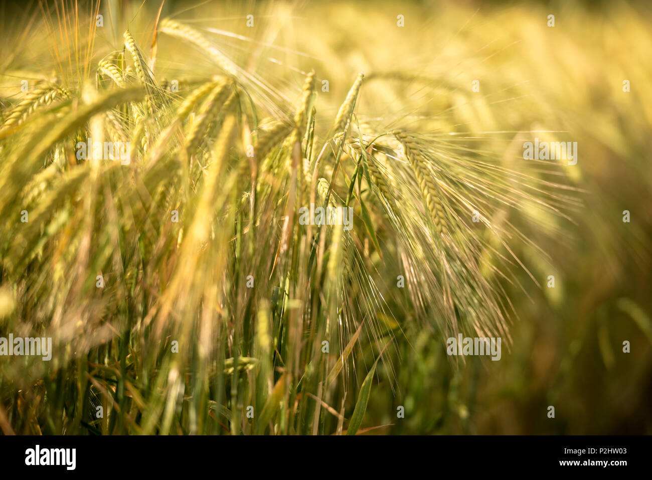 Detail of a ear of corn in a wheat field, Swabian Alb, Zwiefalten, Swabian Alb, Baden-Wuerttemberg, Germany - Stock Image