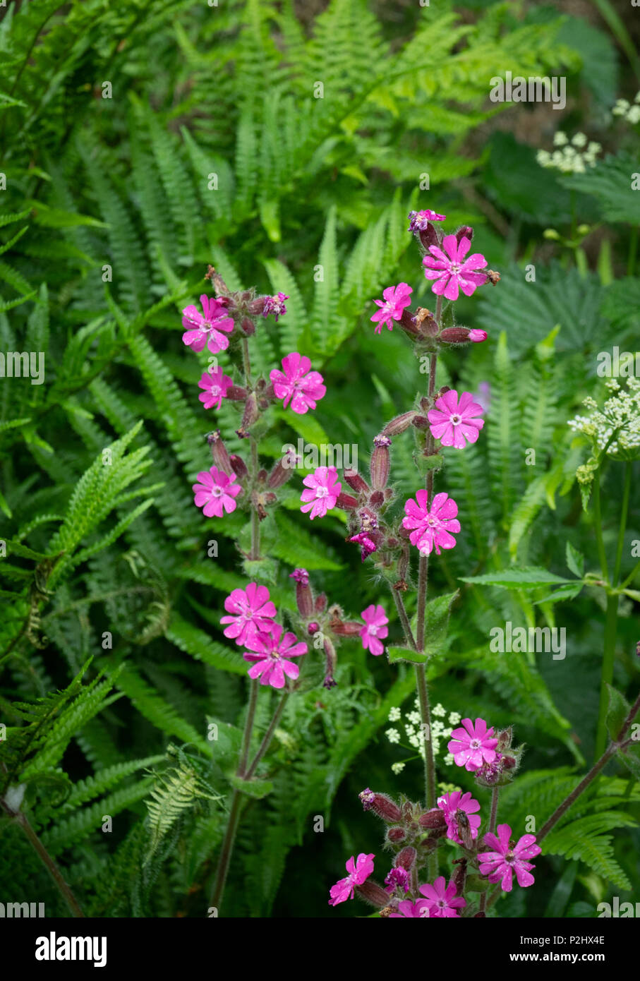 Red campion Silene dioica in a Dartmoor hedge bank devon UK Stock Photo
