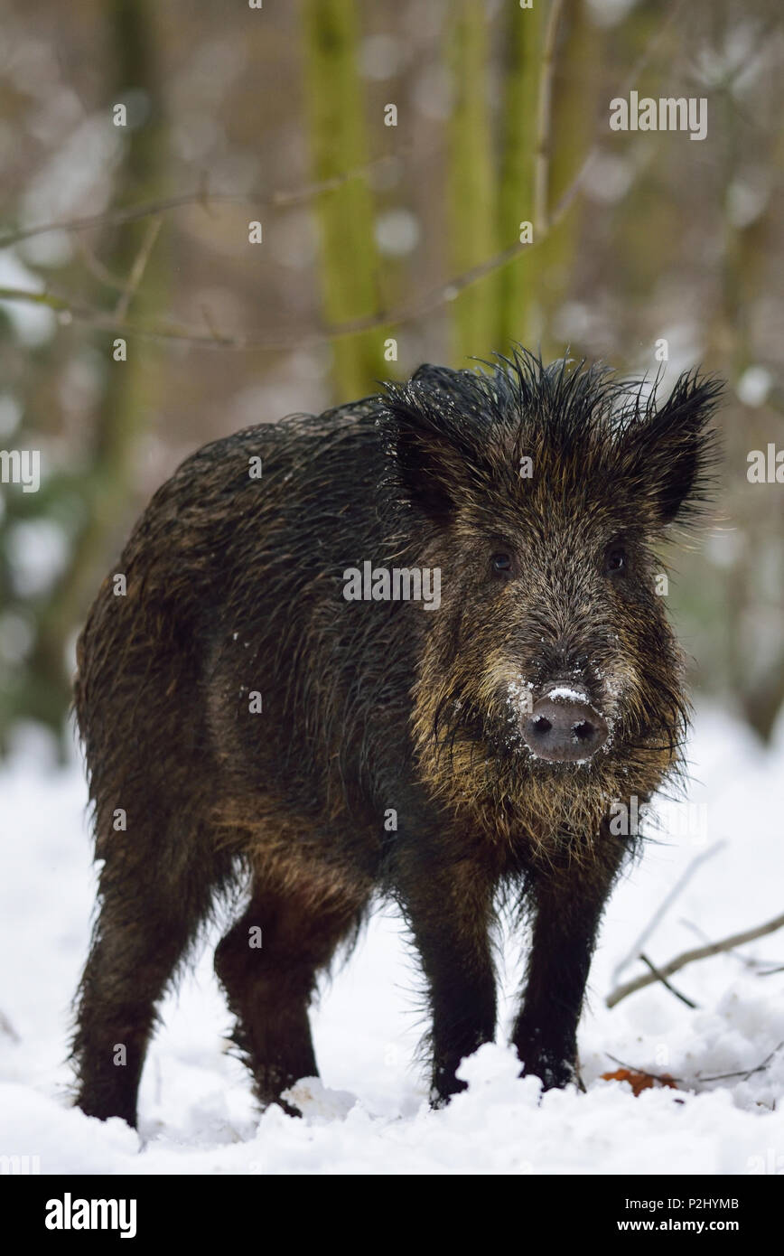 Wild boar in the winter forest, (sus scrofa) - Stock Image