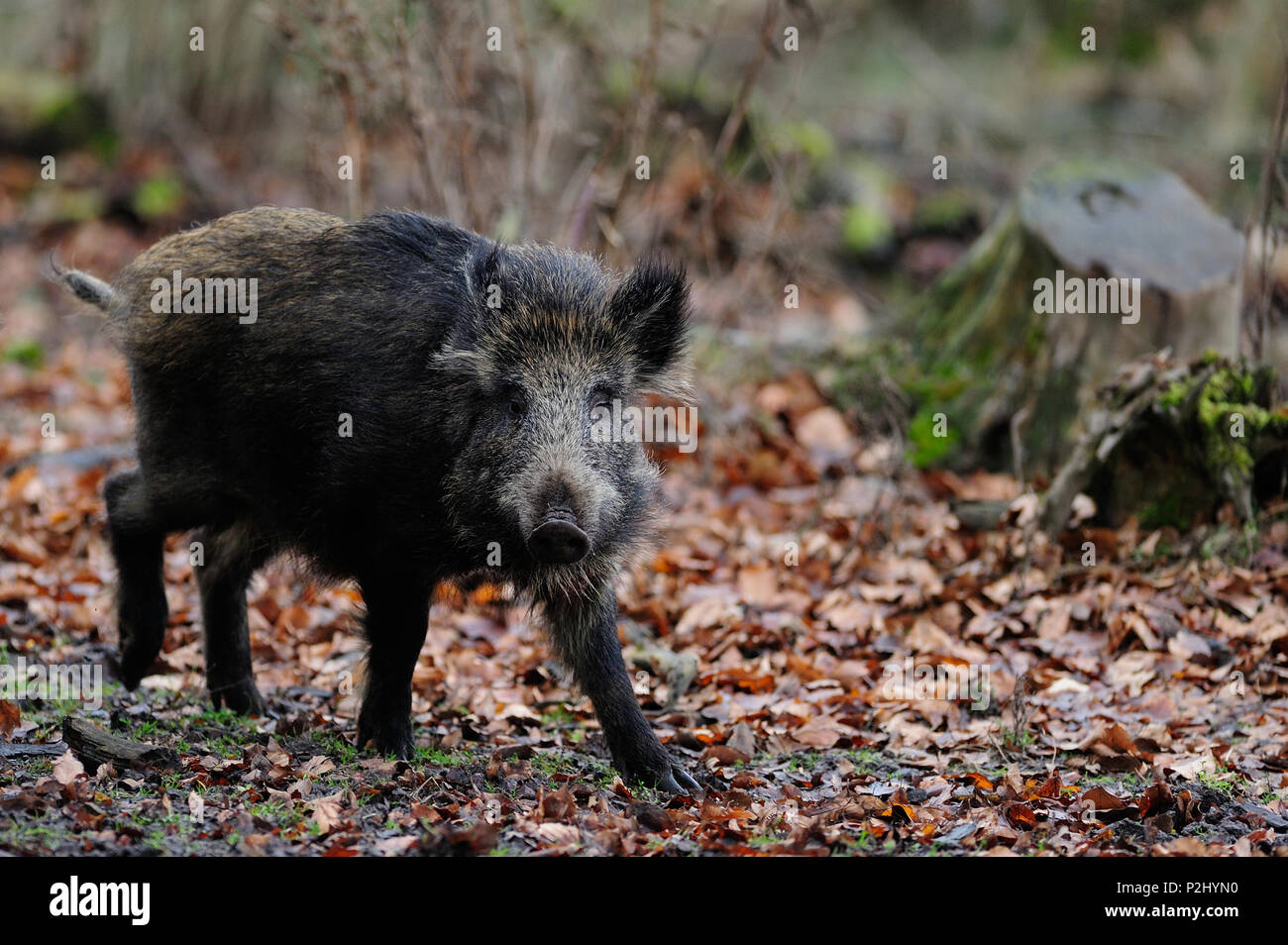 Wild boar in the forest, autumn, (sus scrofa) - Stock Image