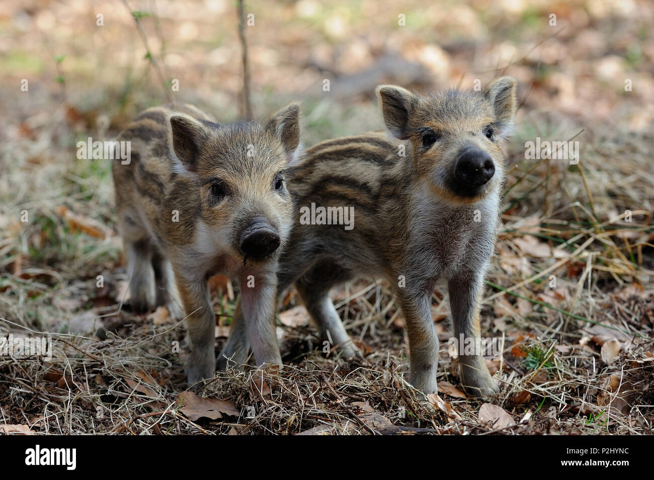 Wild boar piglets  in the forest, spring,  (sus scrofa) - Stock Image