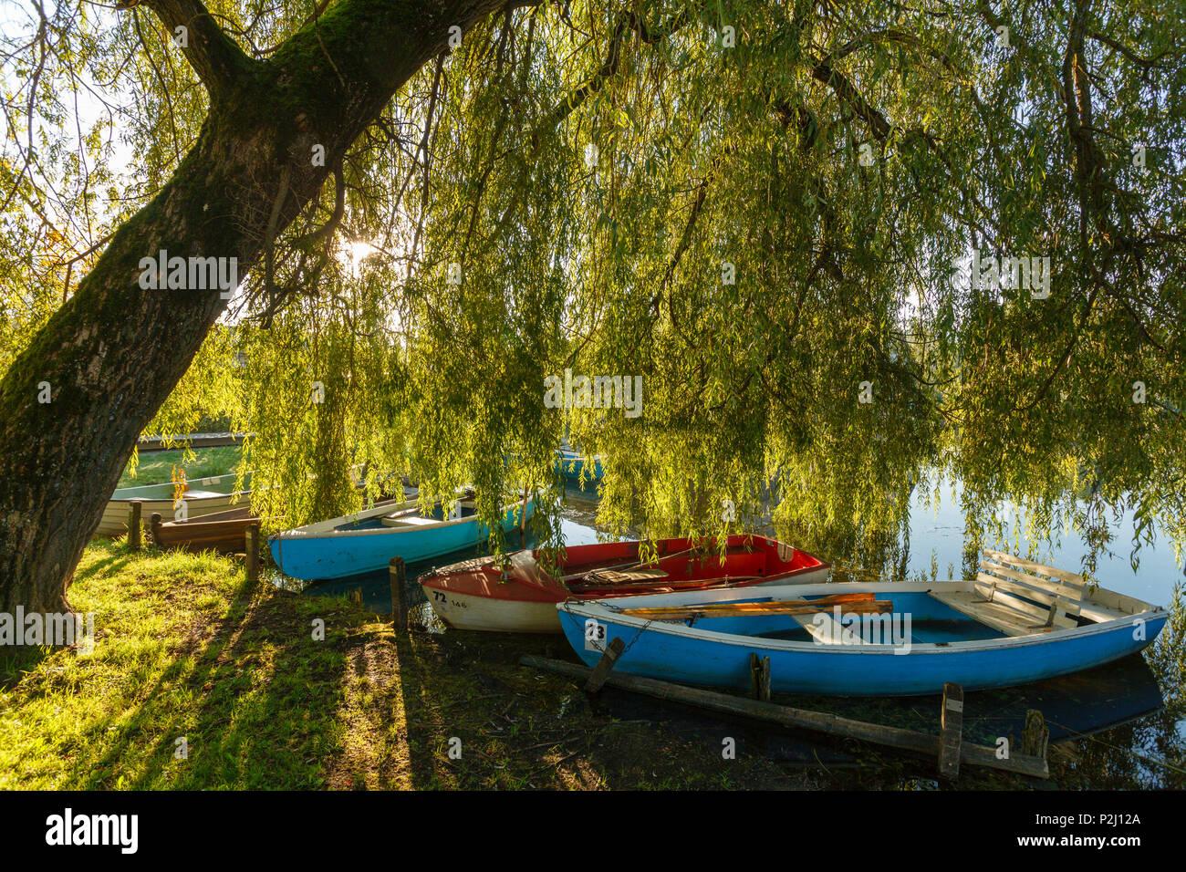 rowing boats on the banks beneath a willow tree, Seehausen am Staffelsee, near Murnau, Blue Land, district Garmisch-Partenkirche - Stock Image