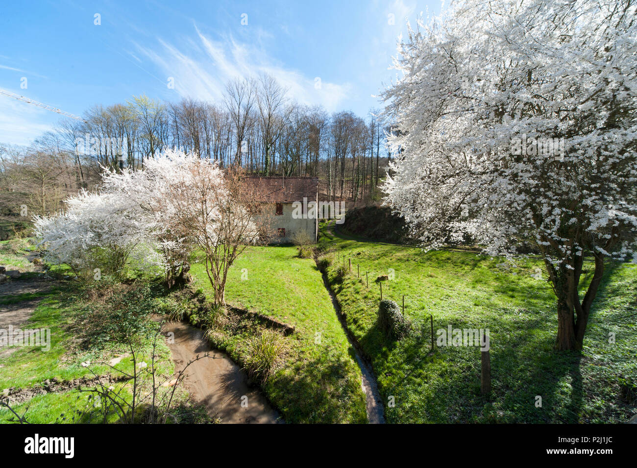 Flowering fruit tree and mill in Laudenbach valley, Laudenbach, Bergstrasse, Baden-Wuerttemberg, Germany - Stock Image