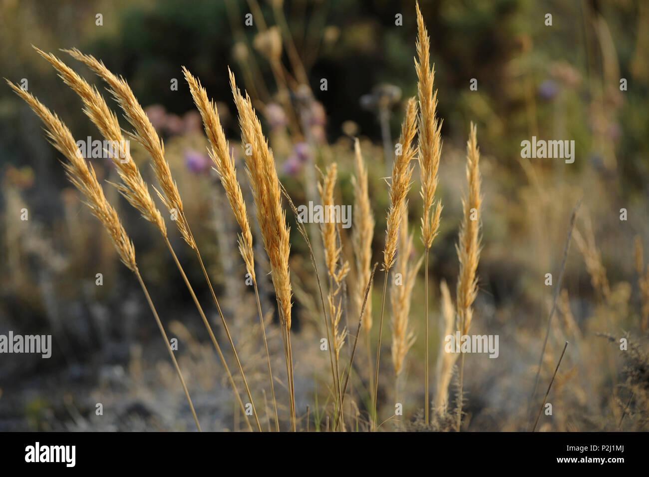 Dried grass in the Serrania de Ronda, Malaga Province, Andalusia, Spain - Stock Image