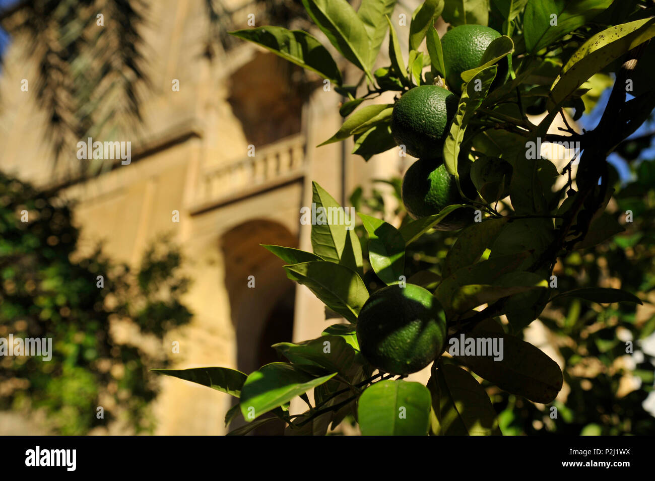Green oranges on the tree in the garden in the Mezquita in evening, Cordoba, Andalusia, Spain - Stock Image