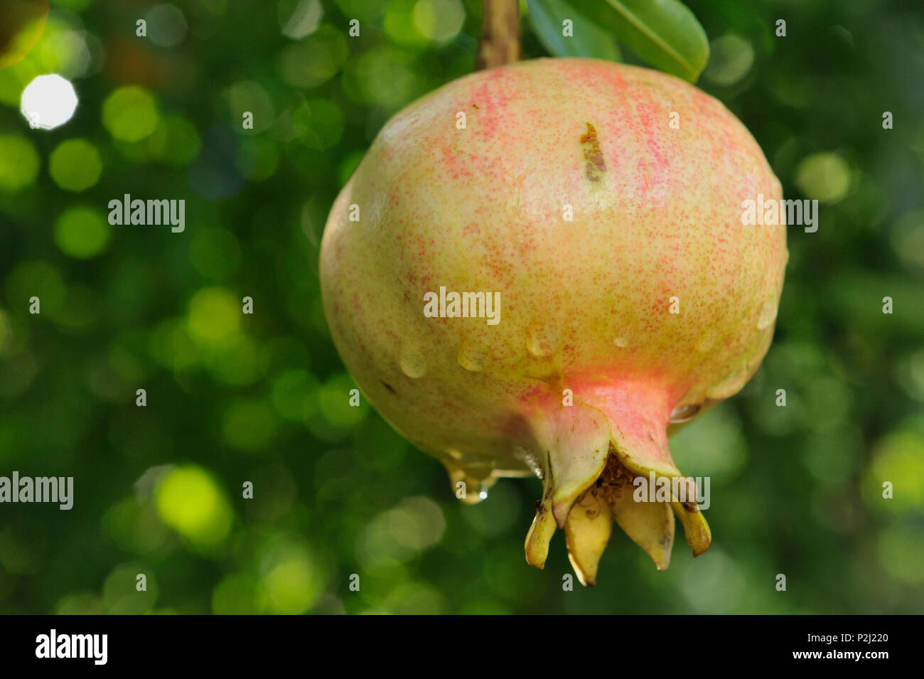 Pomgranate fruit in the vegas near Monachil near Granada, at the foothills of Sierra Nevada, Andalusia, Spain - Stock Image