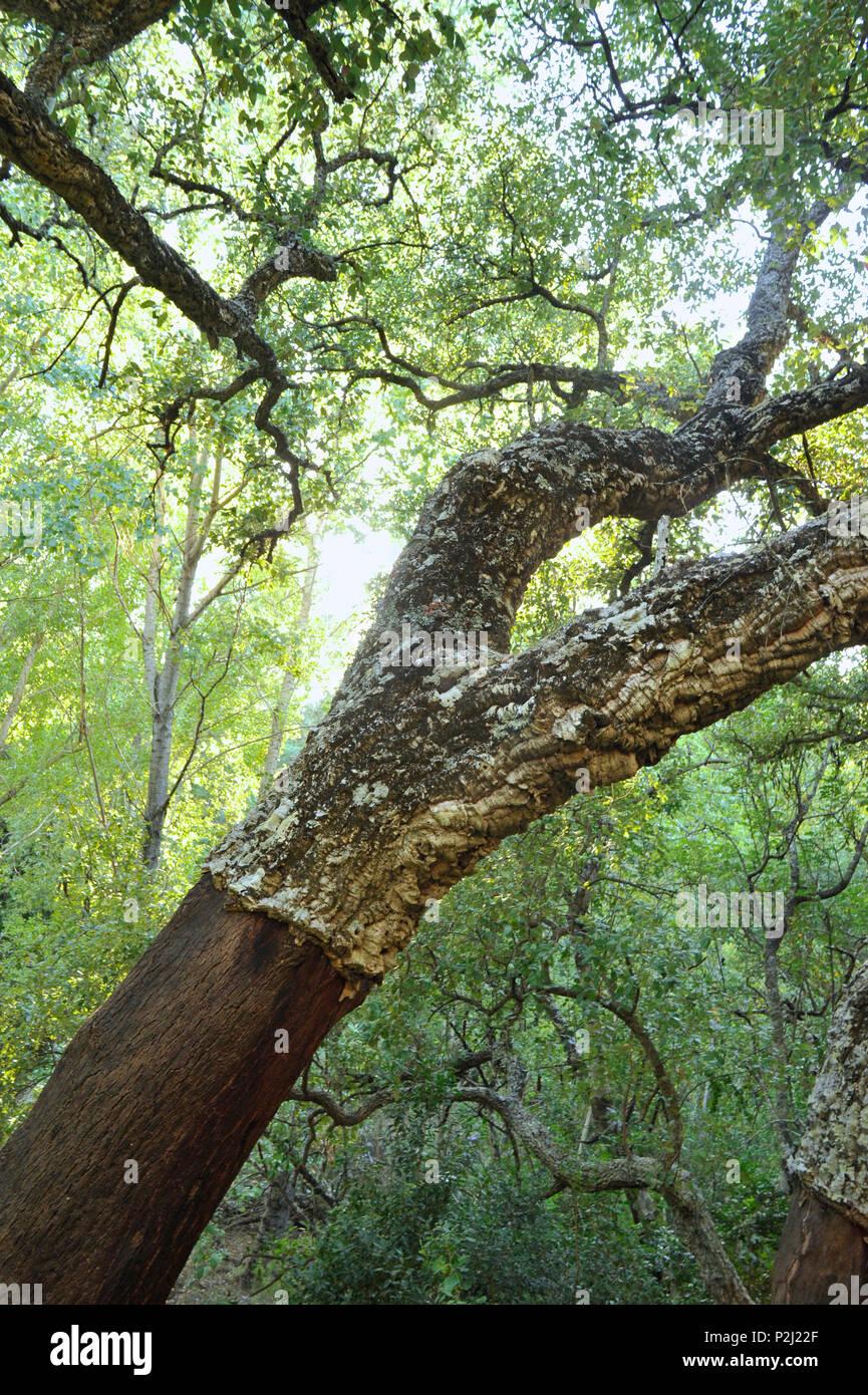 Cork oak with bizare branches, Serrania de Ronda, Andalusia, Spain - Stock Image