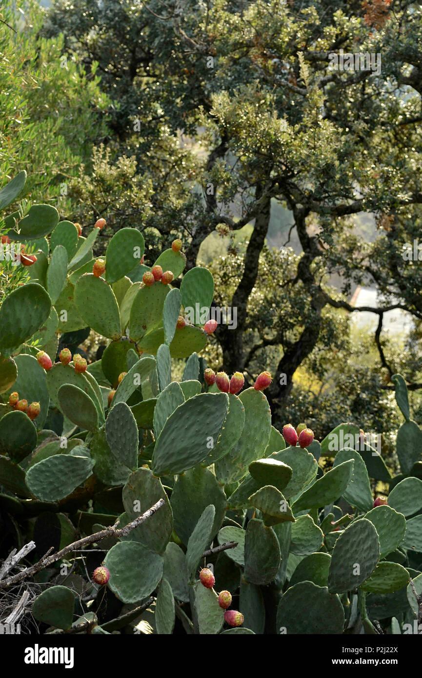 Cacti and cork oak trees in the Serrania de Ronda, Andalusia, Spain - Stock Image