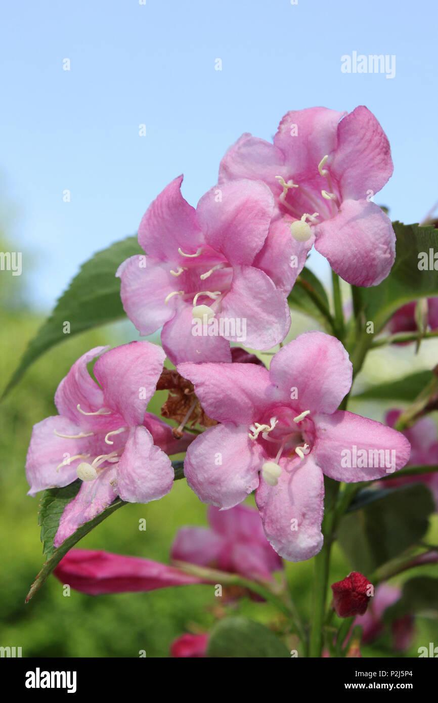 Pink Weigela Flowers Stock Photo