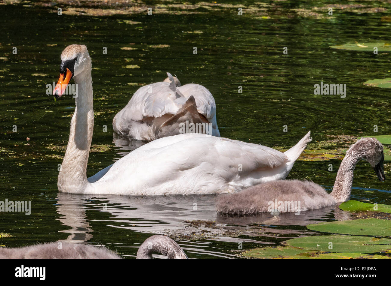 Mute swan family parents and cygnets on the Sankey canal. Stock Photo