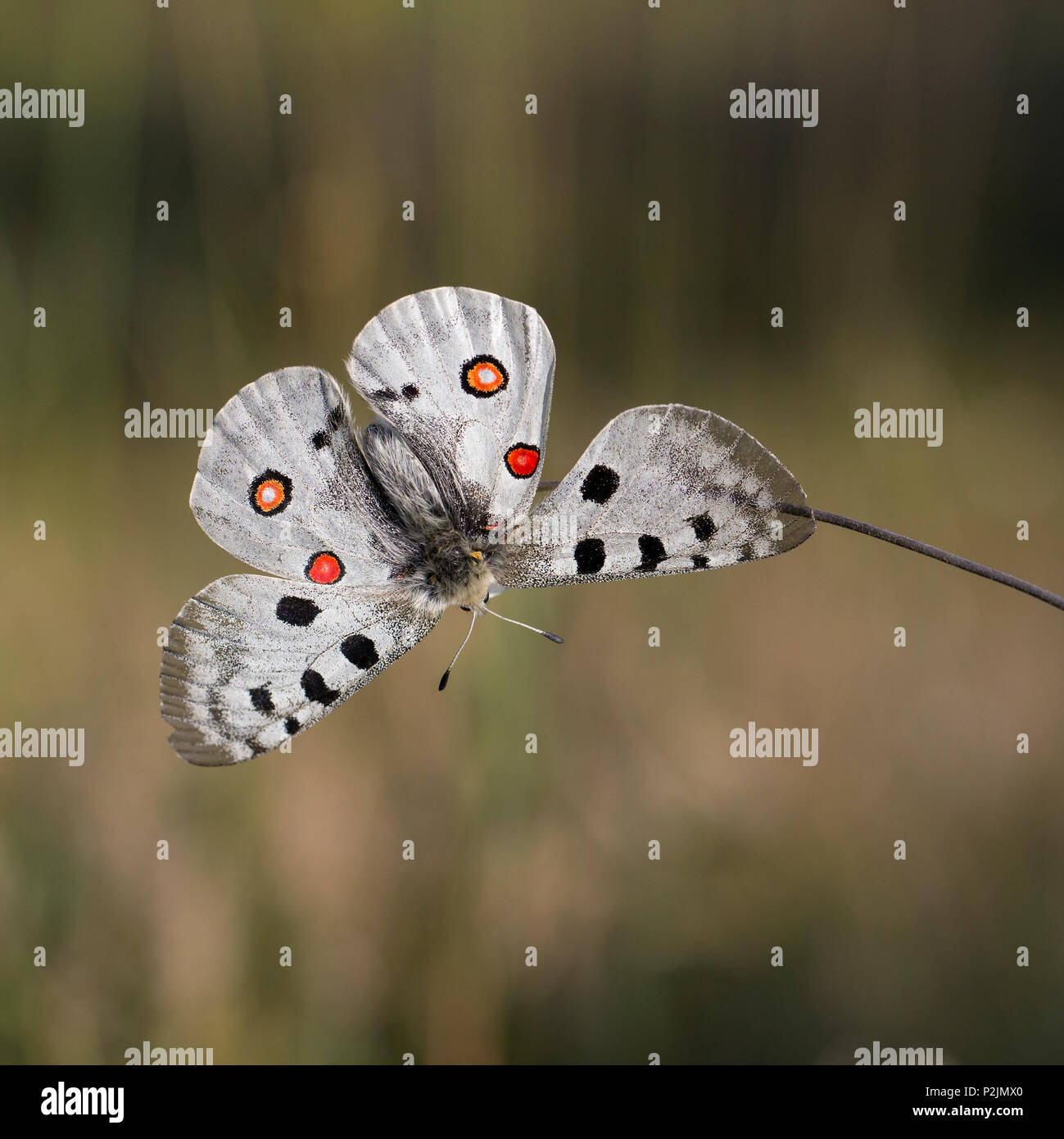Apollo Butterfly - Stock Image