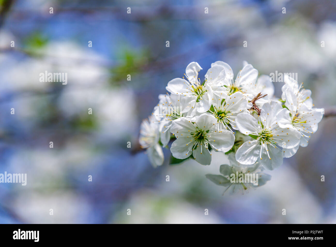 Beautiful cherry blossom (Cerasus avium) in spring time with blue sky. - Stock Image