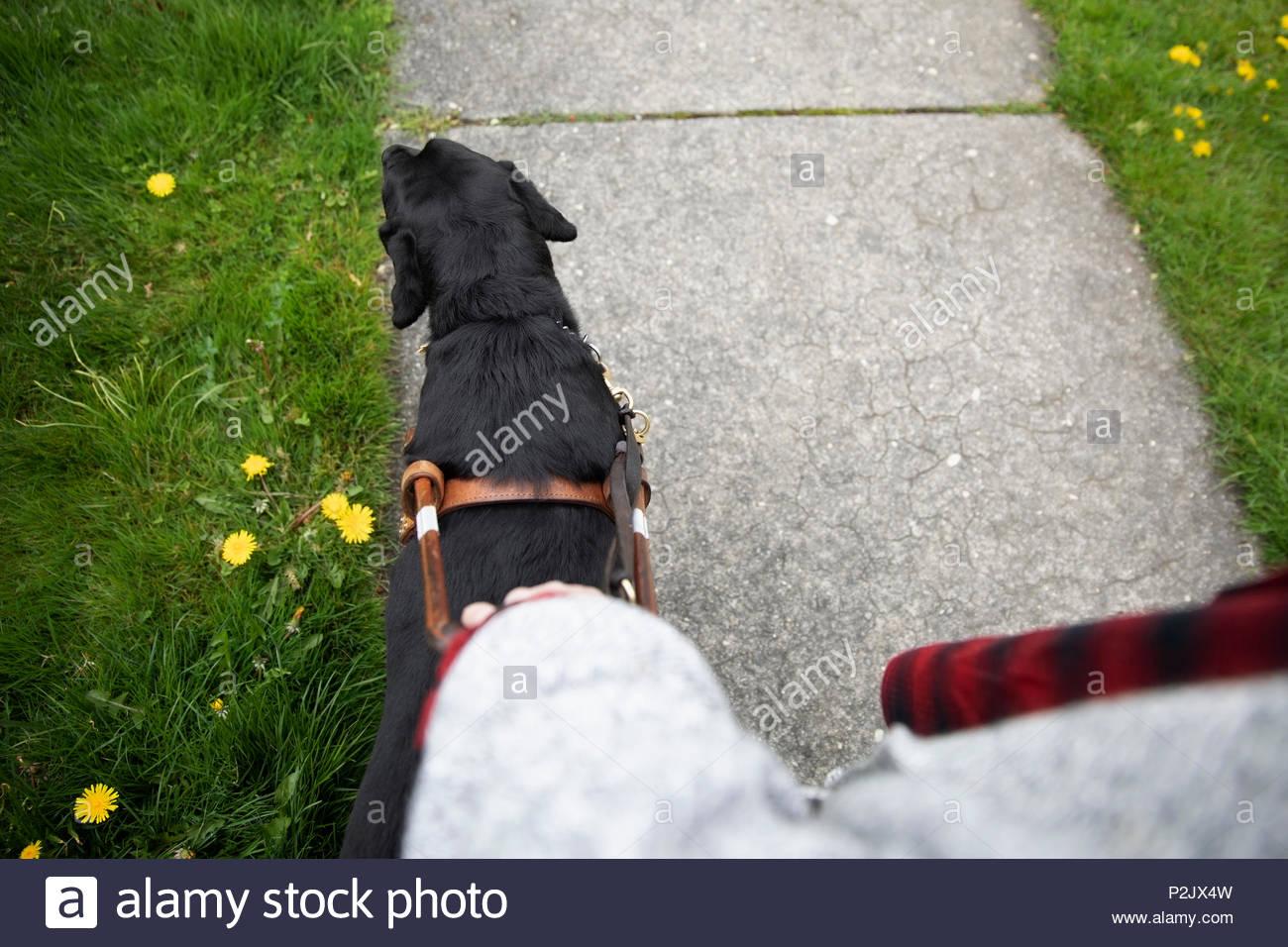 Seeing eye dog leading visually impaired woman walking on sidewalk - Stock Image