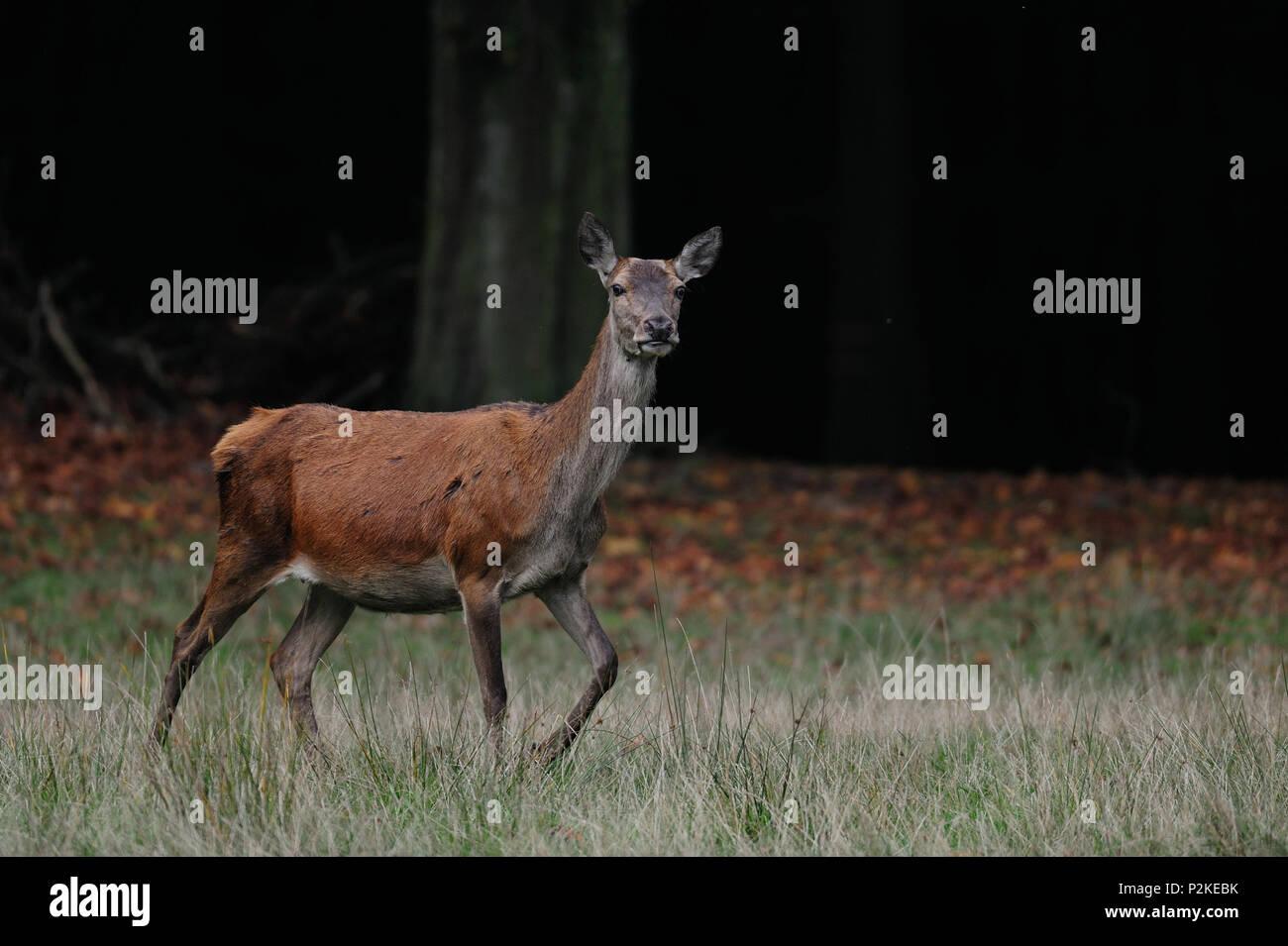 Red deer female in autumn forest, (cervus elaphus) Stock Photo
