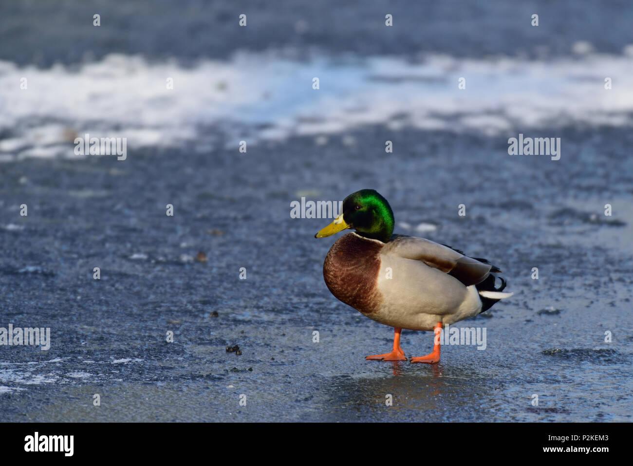Mallard male on the frozen pond, winter, (anas platyrhynchos) - Stock Image