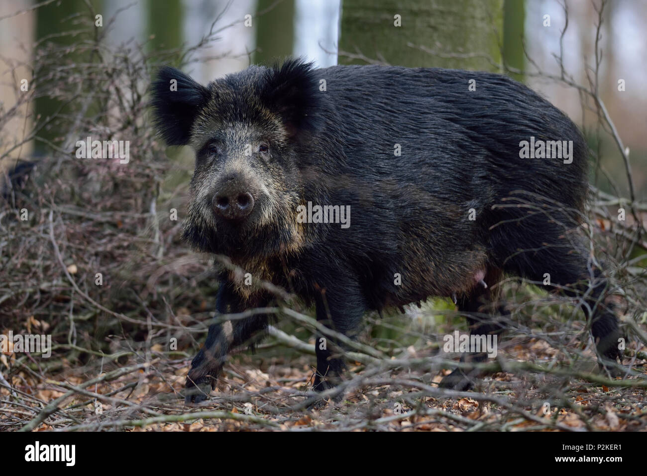 Wild boar female in the forest, spring,  (sus scrofa) Stock Photo