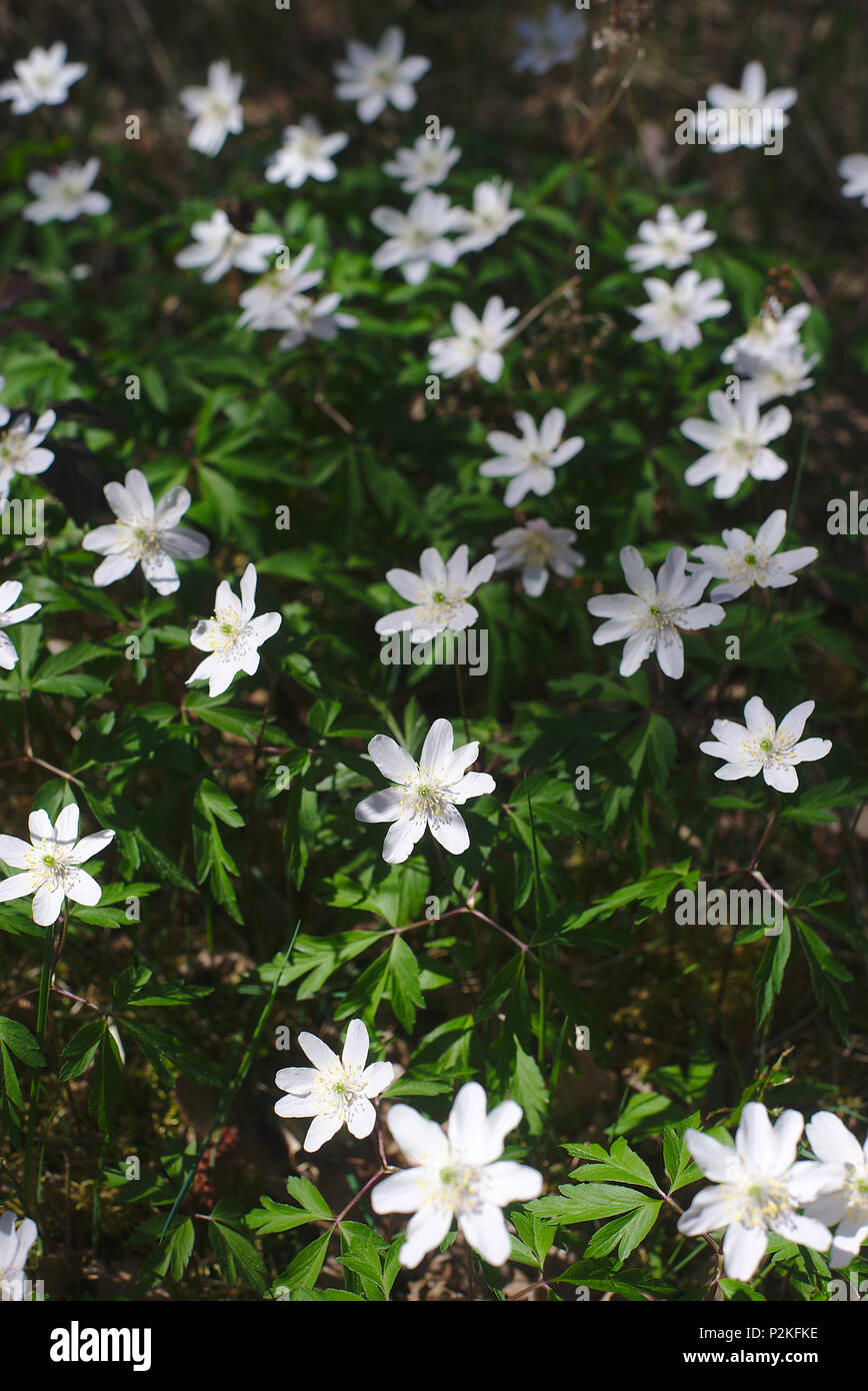Sylvan Anemone, Wood Anemone or Sylvester (Anemone nemorosa), forest flower in Auvergne - Stock Image