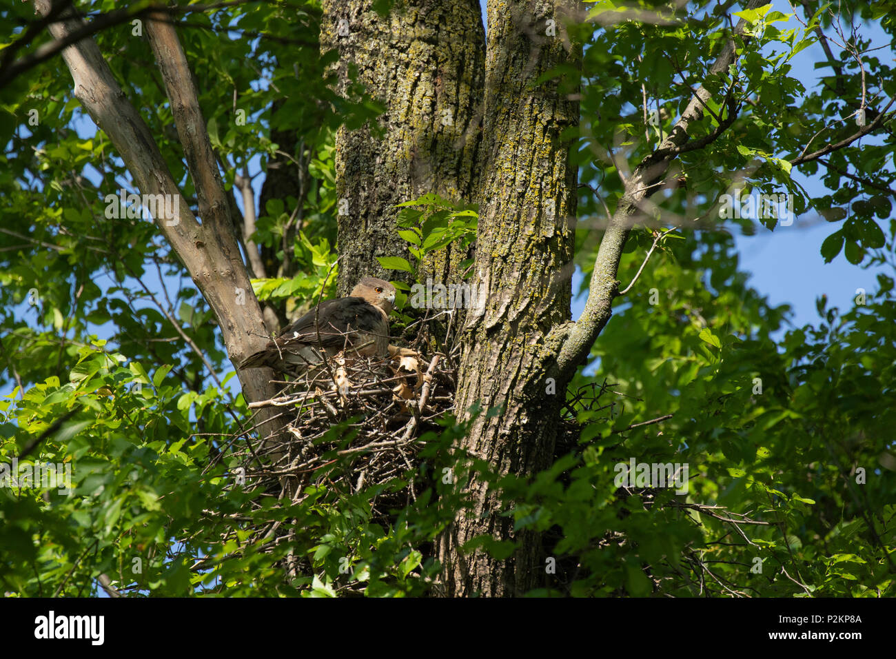 A female cooper's hawk at active nest in a park in Toronto, Ontario, Canada. - Stock Image