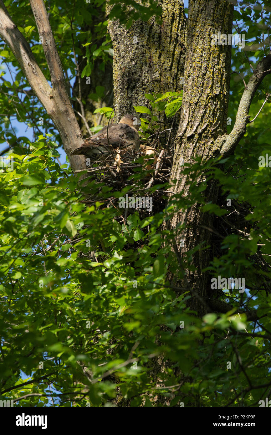 A female cooper's hawk at nest in a park in Toronto, Ontario, Canada. - Stock Image