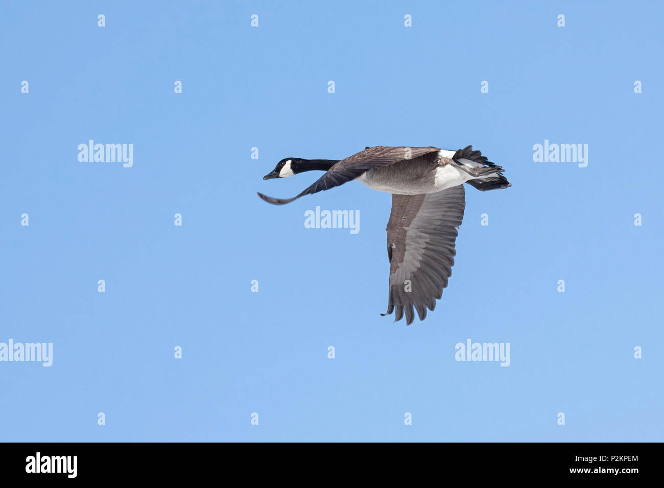 Flapping its wings, a canada goose flies across a baby blue sky.