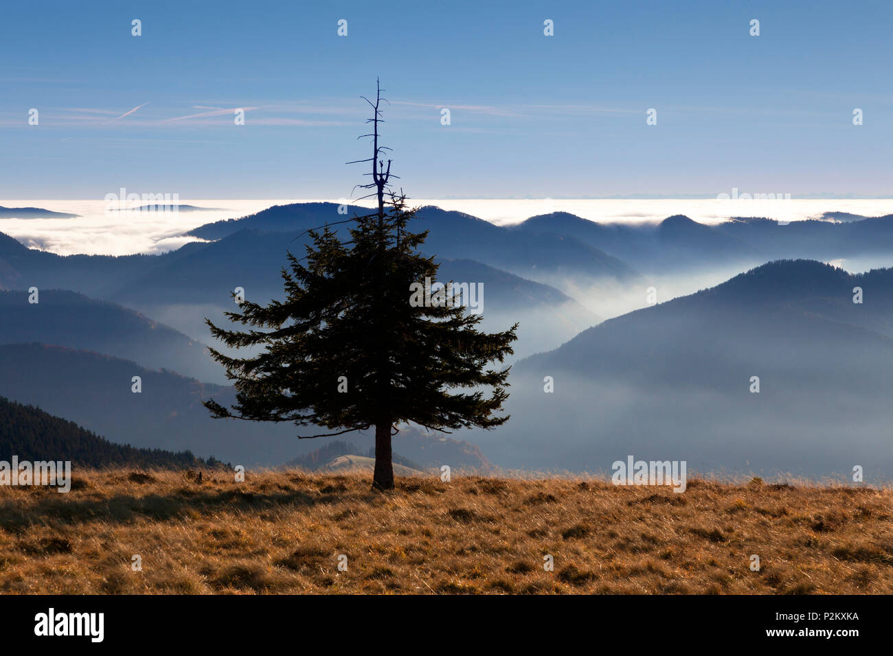 Fir tree at Belchen, Black Forest, Baden-Wuerttemberg, Germany - Stock Image