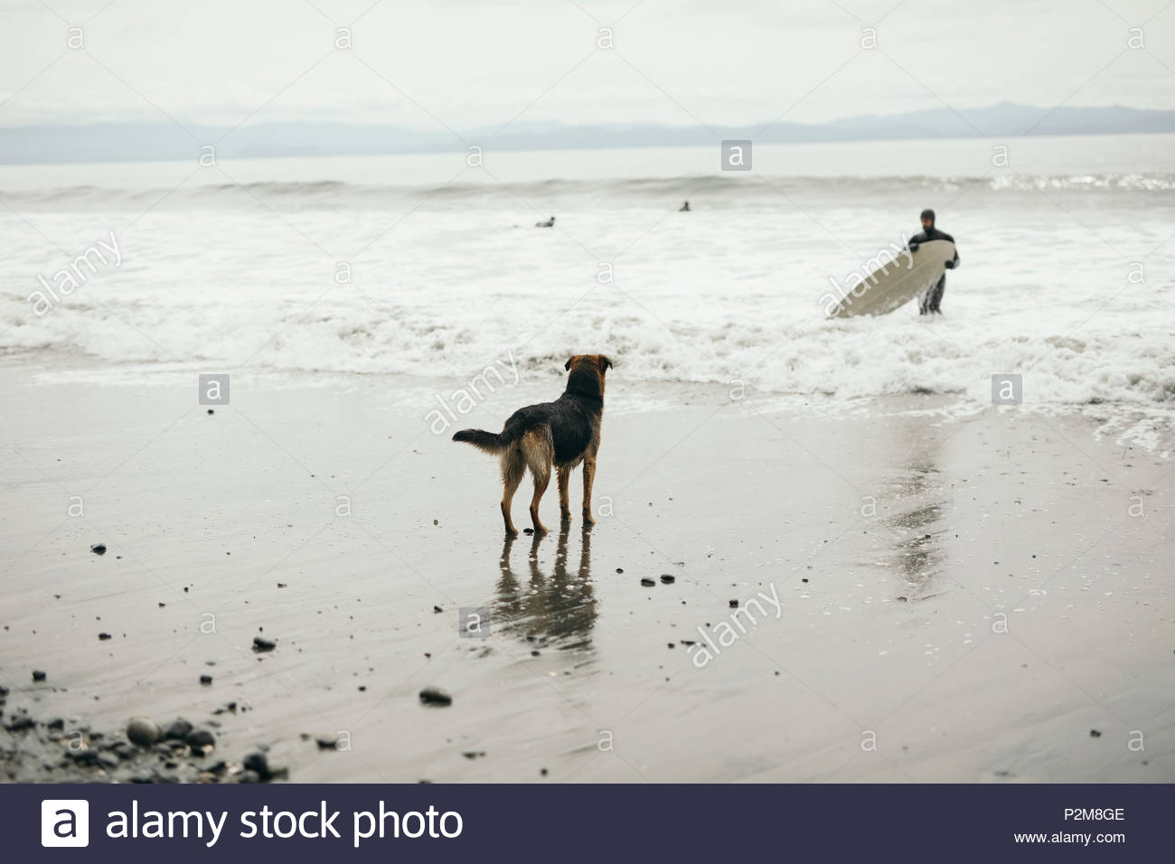 Dog watching surfer with surfboard in rugged ocean - Stock Image