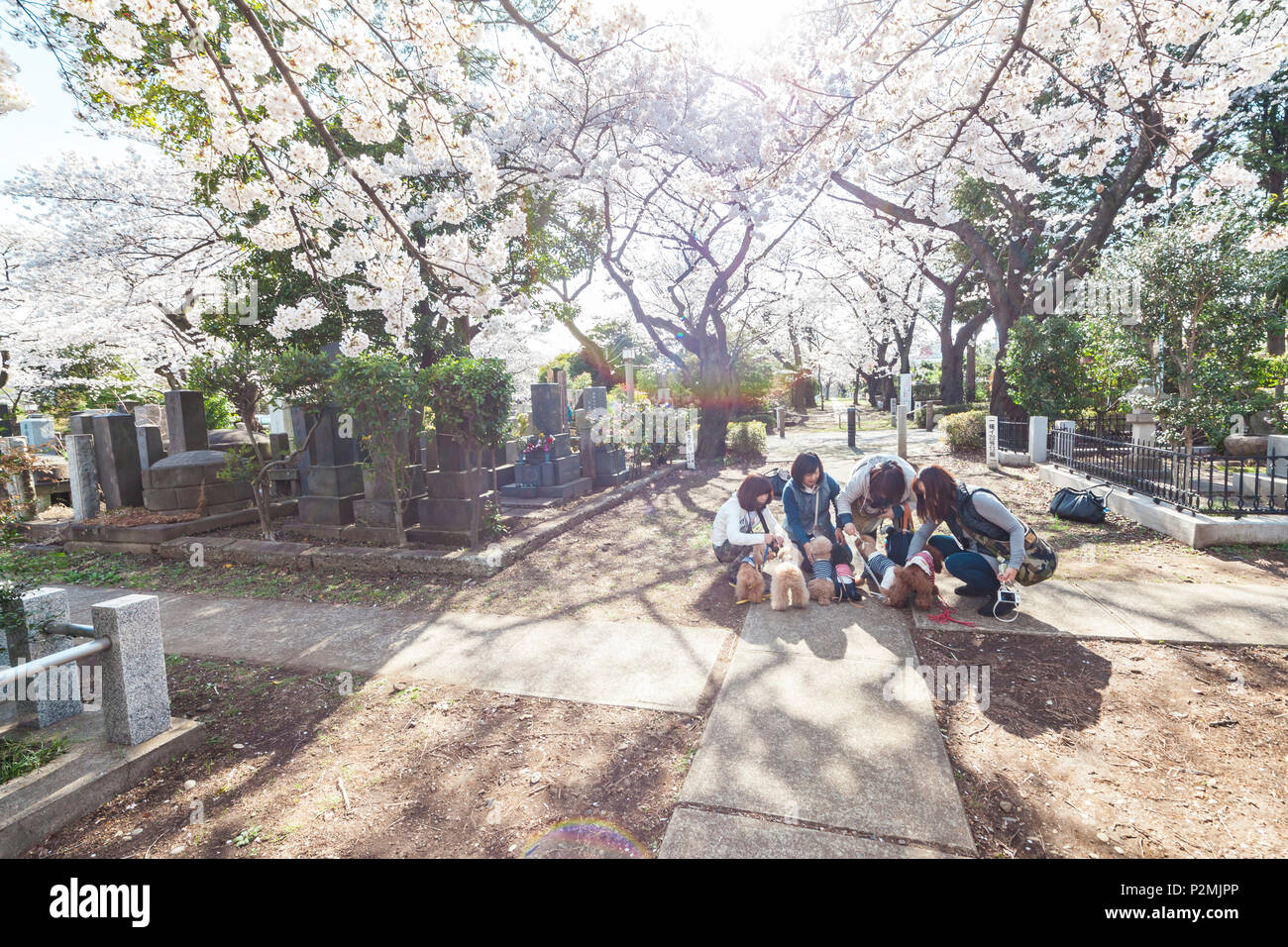 Women with dressed cute small dogs under cherry blossoms at Aoyama Cemetery, Roppongi, Tokyo, Japan - Stock Image