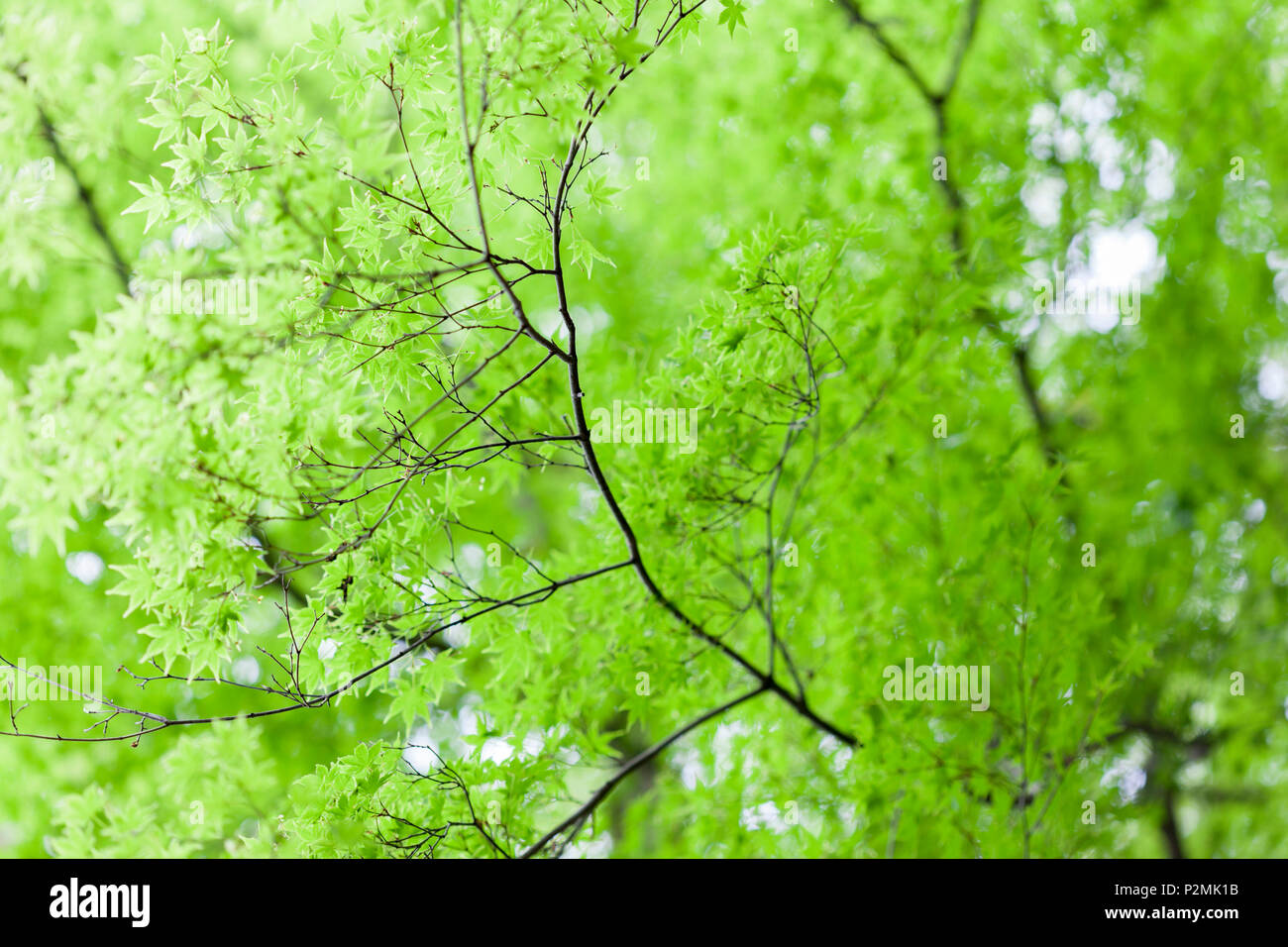 Bright green leaves on a Japanese Maple Tree. - Stock Image