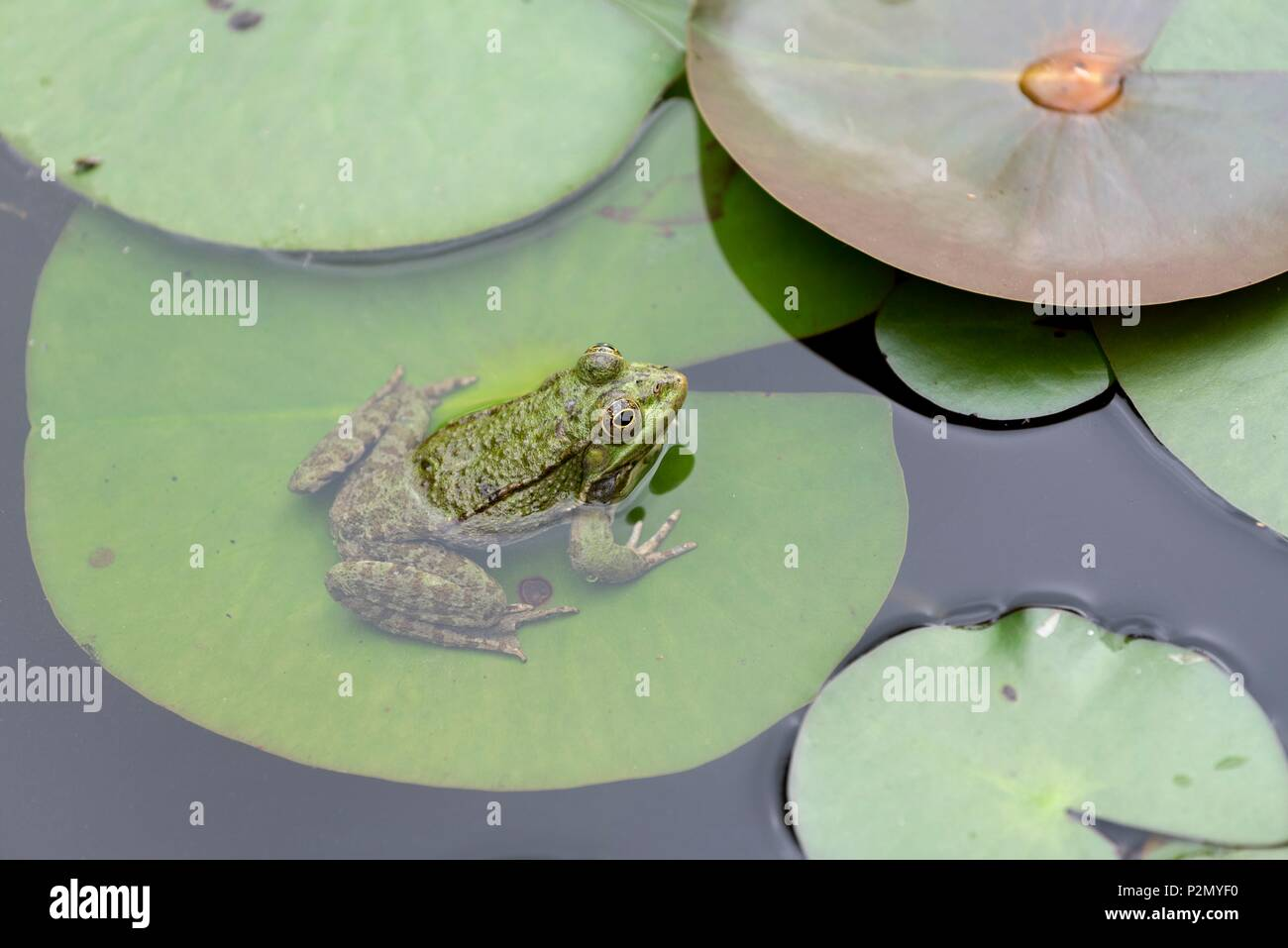 France, Tarn, Cordes sur Ciel, labelled the Most Beautiful Villages of France, The Gardens of Paradise, water lily, common water frog (Pelophylax kl esculentus) - Stock Image
