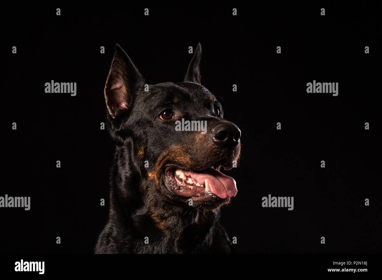 portrait of Doberman Pinscher against black background front view - Stock Image