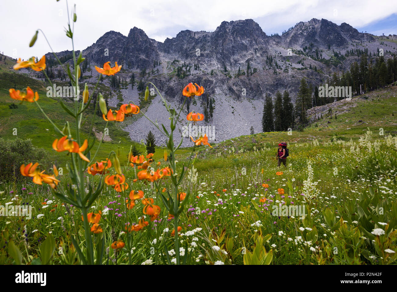 Backpacker in giant wildflower meadows near Round Lake in the Trinity Alps wilderness Four Lakes loop backpacking trail in California. - Stock Image