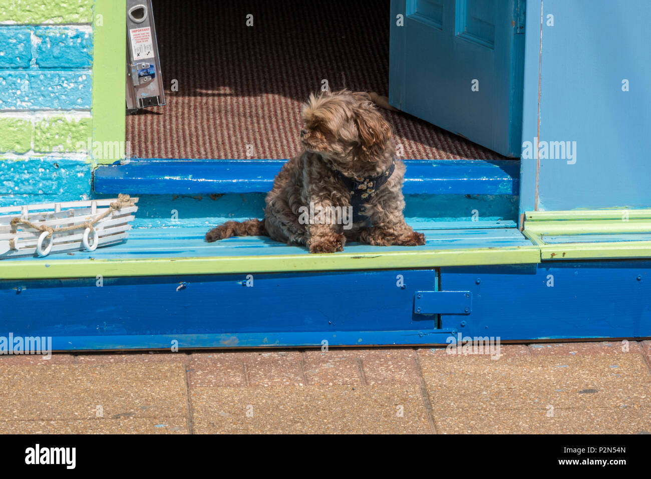 a cute little dig sitting on the steps of a café or shop with the door open enjoying watching people pass by on a sunny day. funny cute dog sitting. - Stock Image
