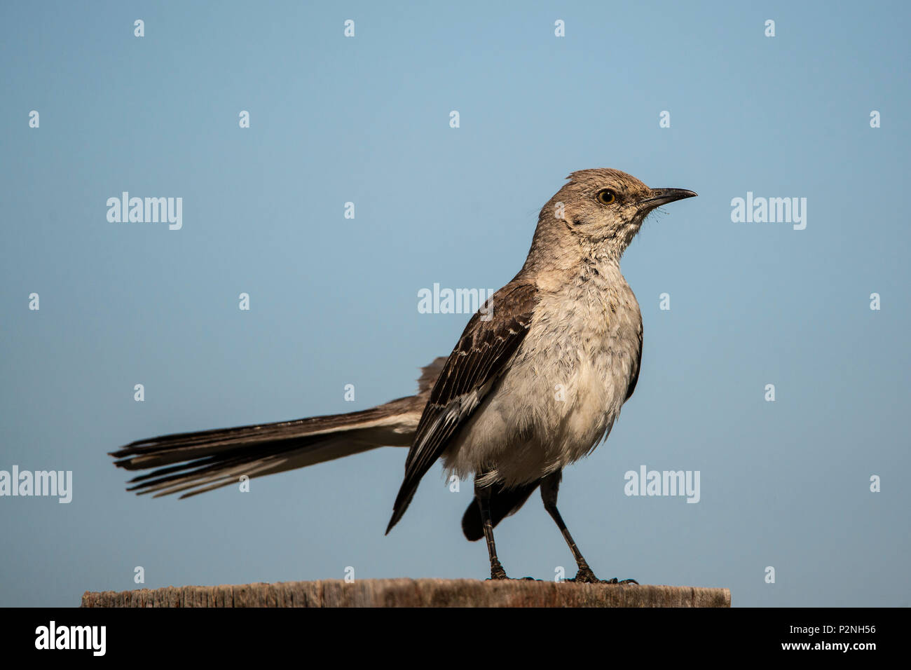 Northern Mockingbird (Mimus Polyglottos) is an omnivorous songbird native to North America. It is known for mimicking birdsongs in its environment - Stock Image