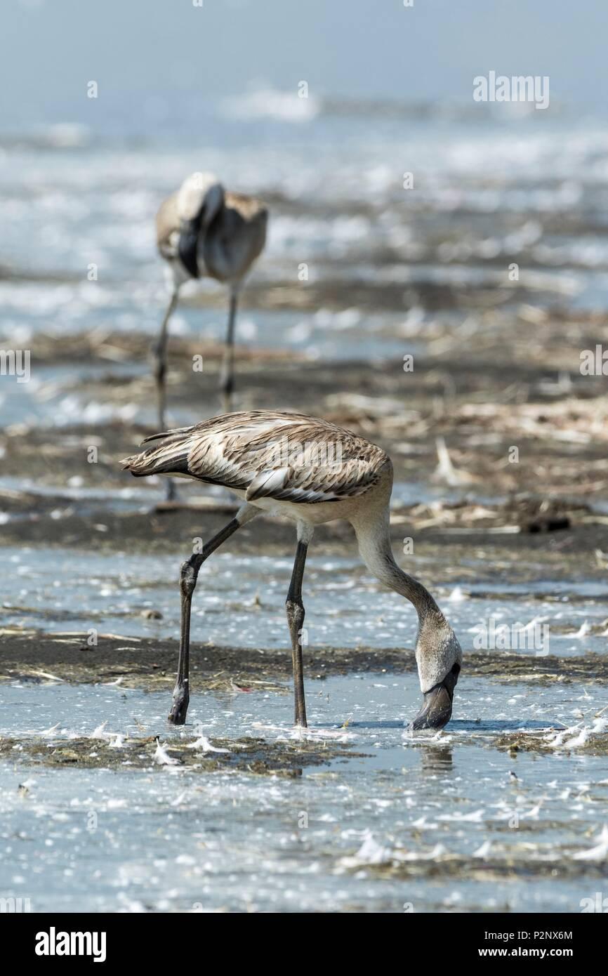Kenya, Soysambu conservancy, lesser flamingo (Phoeniconaias minor), juvenile eating on the lake Elementeita - Stock Image