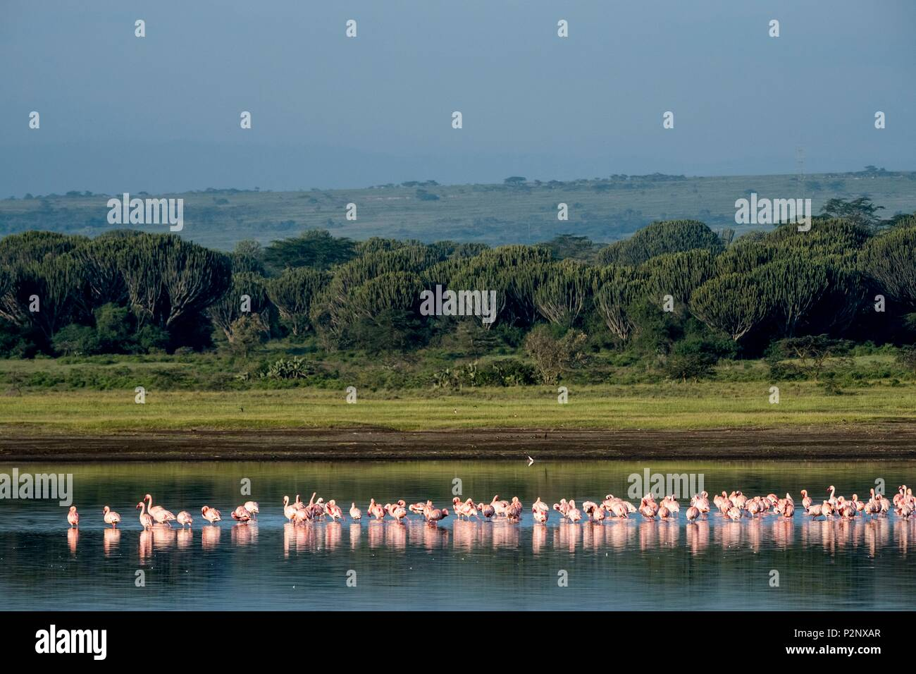 Kenya, Soysambu conservancy, lesser flamingo (Phoeniconaias minor), on the lake Elementeita - Stock Image