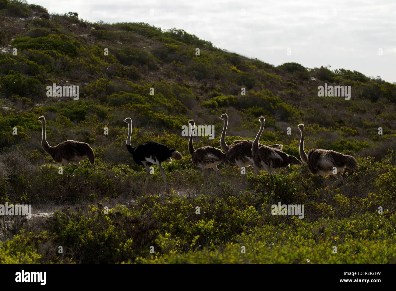 South Africa, Western Cape, Ostrich Group (Struthio camelus) in West Coast NP - Stock Image