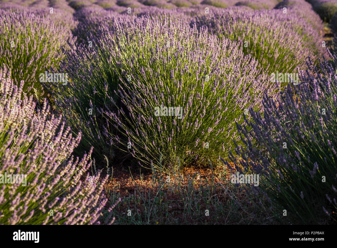 Sunset over violet lavender field in Turkey in summer time Stock Photo