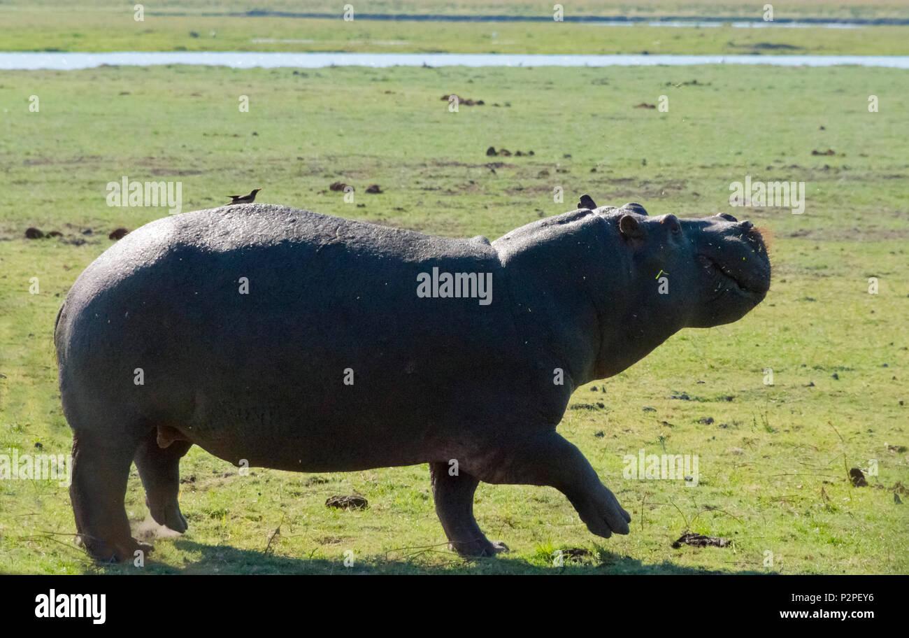 Hippo, Chobe National Park, North-West District, Botswana Stock Photo